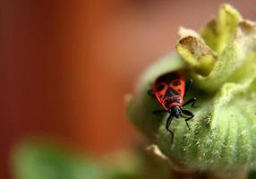 firebug på växten foto
