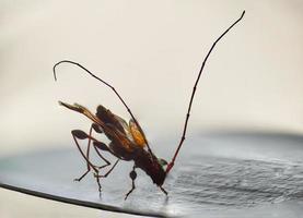 liten longicorn insekt makro fantastisk mikroskop på nära håll foto