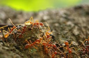 röd myra lagarbete foto