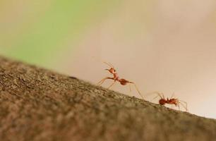 röd myra
