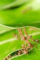 röda myror bygger hem