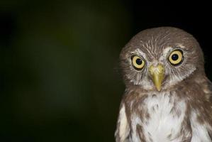 ferroginous pygmy-uggla foto