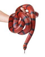 man håller en röd mjölk orm foto