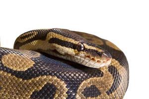 närbild orm foto