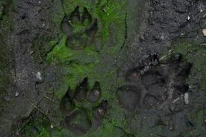 hundens fotavtryck på skogsspåret foto