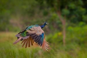 flygande indisk påfågel (pavo cristatus) foto