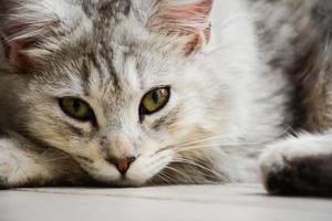 ung maine coon katt ligger på golvet foto