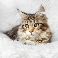 silver svart kattunge maine coon poserar på vit bakgrund päls