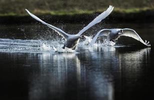 stum svanar, cygnus olor, flyger över dammen foto