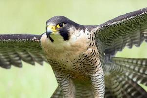 peregrine falcon (falco peregrines) foto