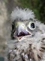 ung kestrel med mycket duniga fjädrar på huvudet foto