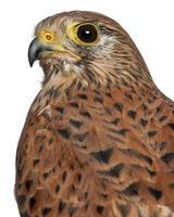 porträtt av vanlig kestrel, falco tinnunculus foto