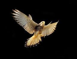 fågel (vanlig kestrel), Thailand foto