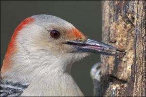 röd buktad wodpecker-huvudskott. foto