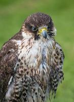 pere lanner falcon foto