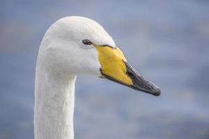 whooper swan, cygnus cygnus, porträtt, närbild foto