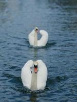 svanar på sjön. foto
