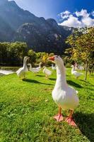 flock med gäss nära floden i bergen foto