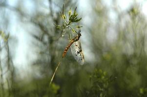silver creek, idaho brun drake spinner foto
