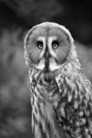 stor grå uggla foto