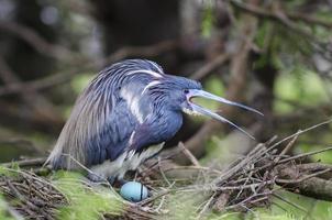 fågel med ägg i ett bo foto