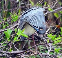 tricolored heron (egretta tricolor) foto