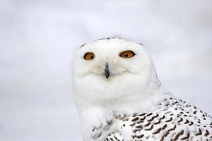 snöig uggla ansikte foto