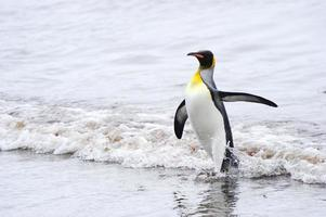 kungpingvin (aptenodytes patagonicus) foto