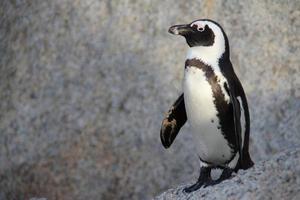 afrikansk pingvin på stenblockstranden, Sydafrika foto