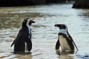 jackass-pingviner (spheniscus demersus) foto