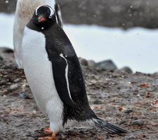 den stiliga gentoo-pingvinen