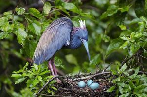 fågel och tre ägg foto
