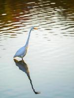 stor ägretthäger som står i vatten med reflektion foto