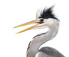 närbild av en grå herons profil, näbb öppnad, ardea cinerea foto