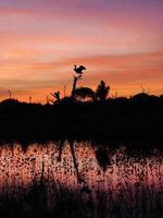 stora blå häger landar i dött träd i vacker solnedgång foto