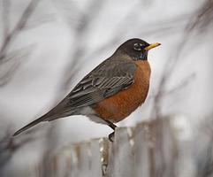 Robin, trast foto