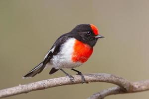 rödknäppt robin