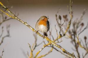 Robin, rödbröd, erithacus rubecula, ligger på en kvist