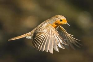 europeisk robin i flyg på nära håll foto