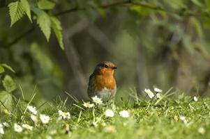 Robin på gräset