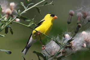 manlig amerikansk guldfink foto