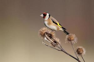 guldfink, carduelis cardueliss foto