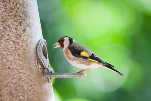 guldfink foto