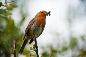 röd robin fågel som äter ett insekt foto