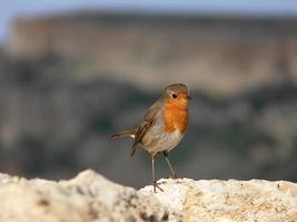 liten tunn fågel med röd orange bröst europeisk rödbröd foto