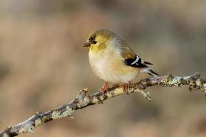 guldfink (vinterfärgning) foto