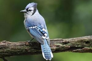 uppflugen blå jay foto