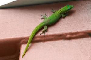 grön gekko - phelsuma laticauda foto