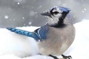 blå jay i snö foto