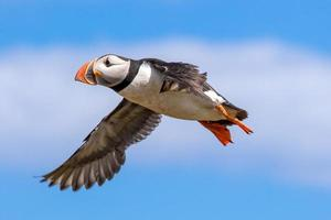 atlantisk lunnefågel under flygning